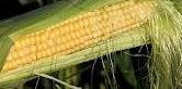 Majskolberne har afløst hvede, rug og byg på store dele af de sydslesvigske landbrugsarealer.